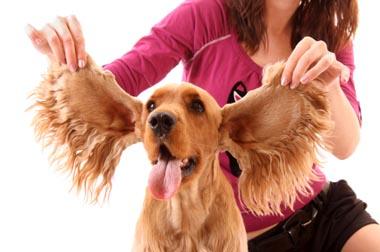 Pies, Kot, Czyszczeniu uszu u psa