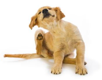 Alergiczne pchle zapalenie skóry u psów (APZS)