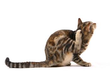 Alergiczne pchle zapalenie skóry u kotów (APZS)