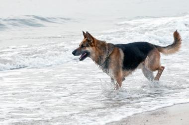 Dysplazja stawu biodrowego u psów