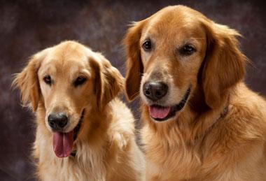 Dysplazja stawu biodrowego u psów – dieta